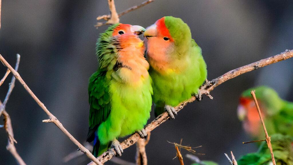 Love-Birds-images