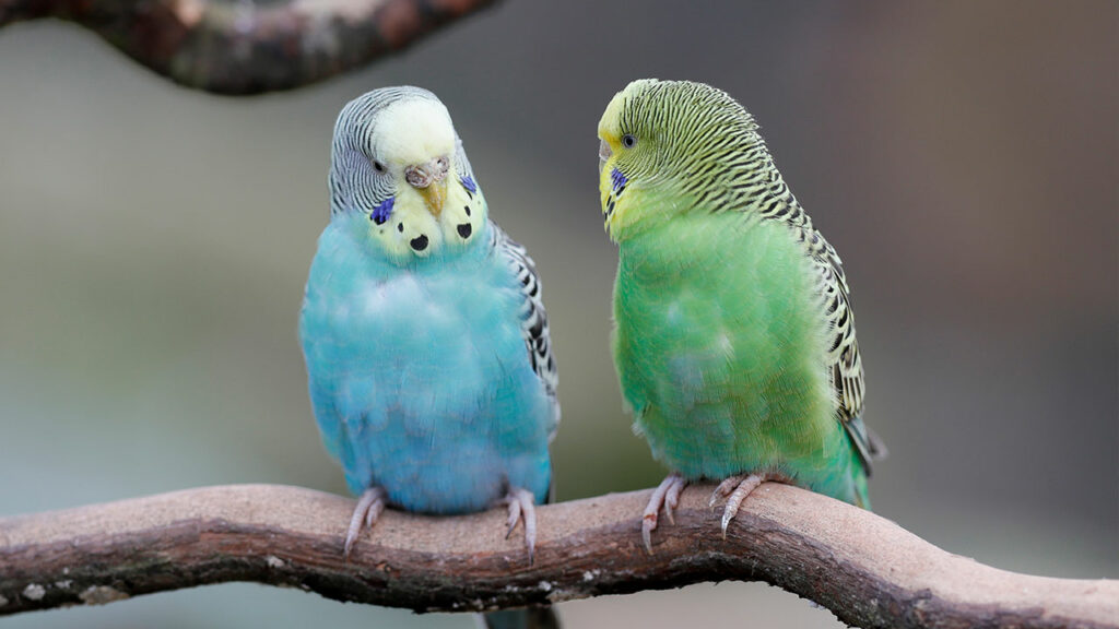 Parakeets-images