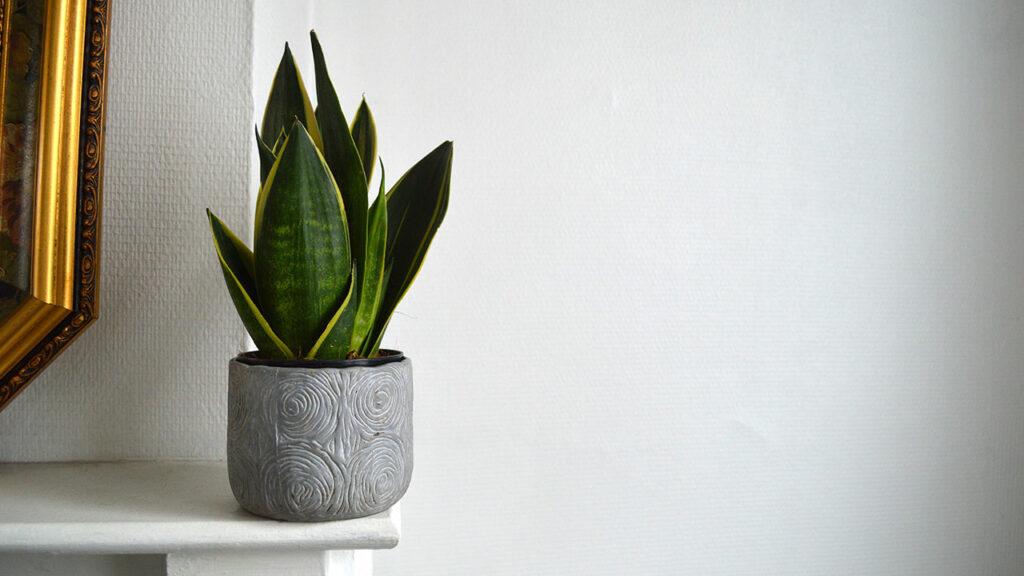 Snake-Plant-image