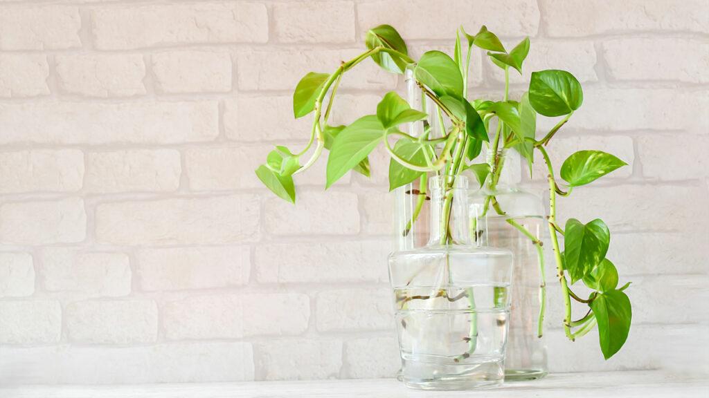 Money-Plant-image